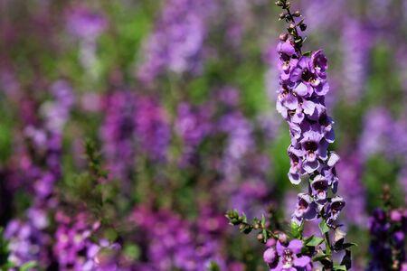 purple Angelonia flower in garden with daylight background Stock Photo
