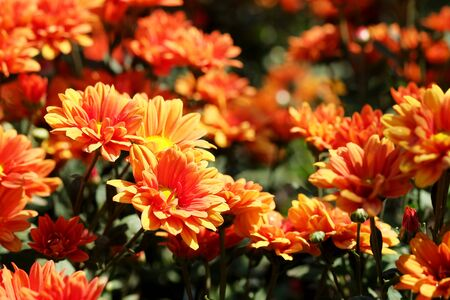 orange yellow Chrysanthemum morifolium flower in garden background