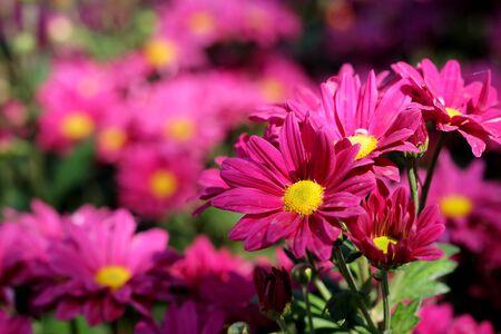 pink Chrysanthemum Florist flower in garden with daylight