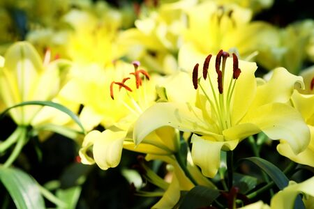 yellow lily flower in garden with daylight