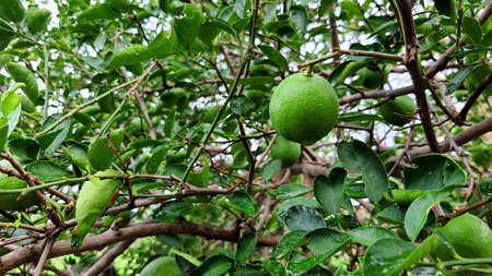 Organic fresh green lime in lime tree garden 免版税图像