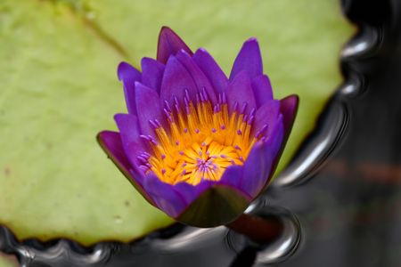 purple lotus on black water with green leaf as background photo