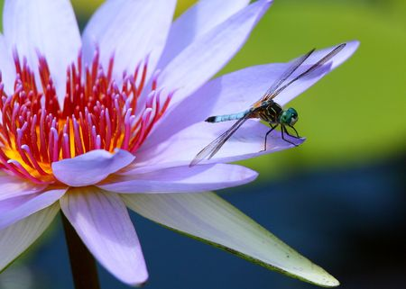 lotus, water lily, Dragonfly