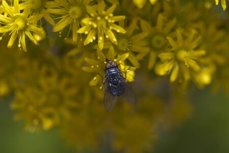 Fly on a yellow flower in clear day Stock Photo