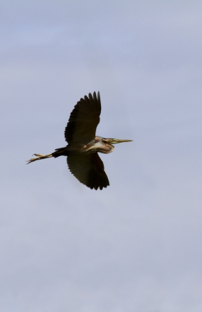Heron in flight against the gray sky