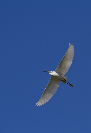 Big white heron against the dark blue sky