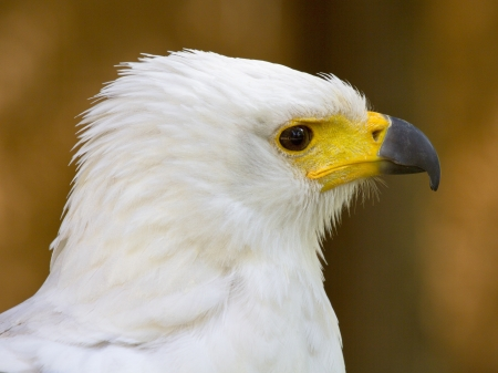 The head of the white eagle closely.