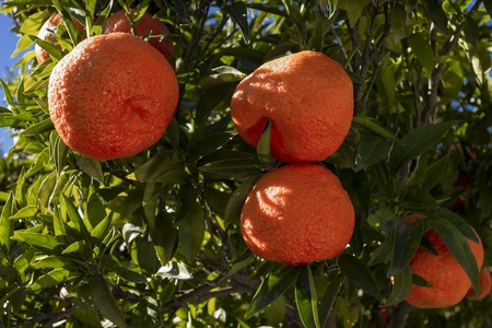 Tangerine fruits on branches in bright midday