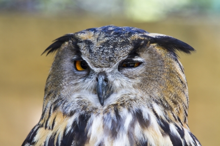 Big-eared eagle owl Stock Photo