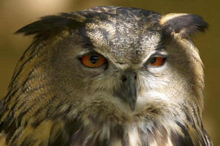 Winged predator, the head of an owl full face with a cunning look Stock Photo