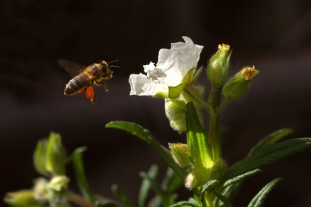 bee over a white flower against a dark background before a landing Stock Photo