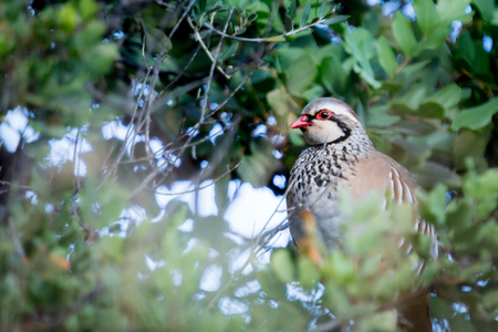 perdiz: Partridge, beautiful bird group of colourful males during mating dance.