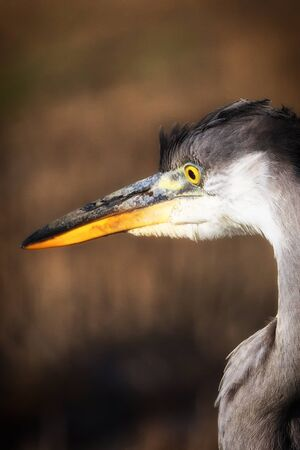 Portrait of a big gray heron in the profile made at sunset.
