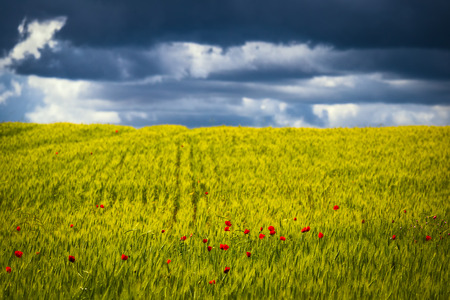 Green field of cereal culture with impregnations of the blossoming poppies against the storm sky.