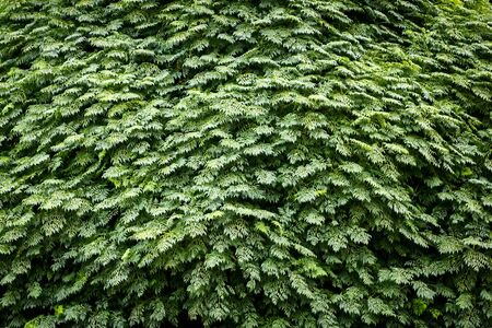prevalence: Wall from leaves, the background image, prevalence of shades of green color.