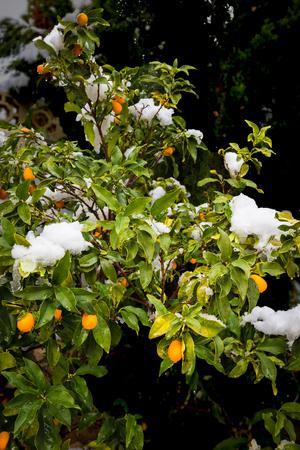 Oogst van citrusvruchten aan de boom bedekt met sneeuw.