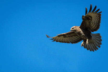 Hitsny bird against the background of the blue sky. Eagle. Buzzard.