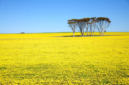 field with yellow flowers and blue sky.