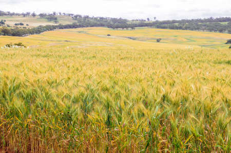 field of barley.