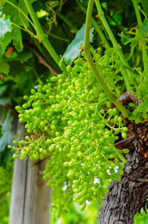 Young green grape on vine 免版税图像