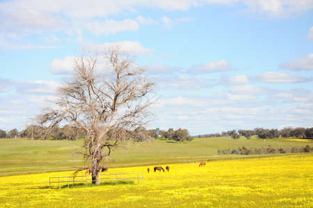 Horses graze peacefully amongst the grass and yellow flowers field and blue sky in Western Australia.