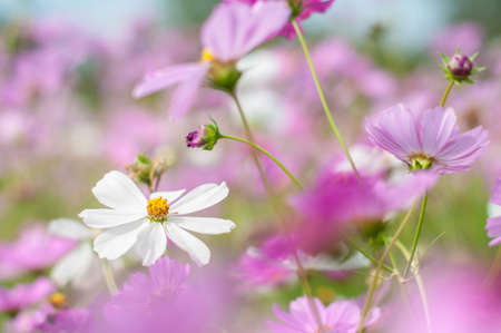 Cosmos, Mexican aster flowers against blue sky Archivio Fotografico