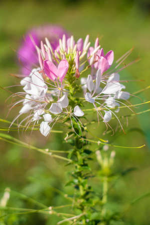 Close up of Prickly spider-flower in garden 免版税图像