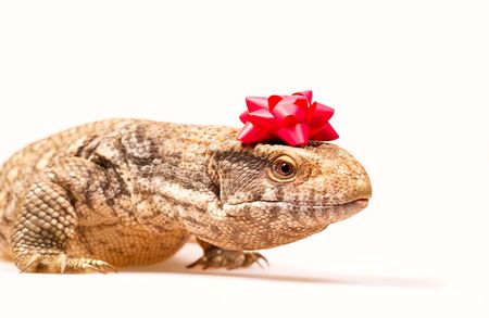 Steppe monitor lizard with a red ribbon for gifts on his head