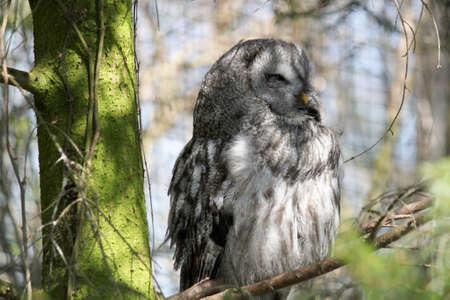 revealed little owl