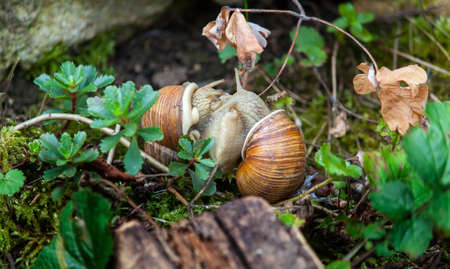 copulation: vineyard snails in a love game for reproduction