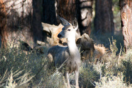 stampede: Extremely tame Deer residing in the Campground at Stampede Reservoir in Sierra County California. Stock Photo
