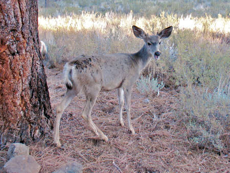 tame: Extremadamente domesticar ciervo que residen en el campamento en el embalse de la estampida en el condado de Sierra de California. Foto de archivo