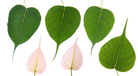 pipal: 6 Bodhi leaves on white background