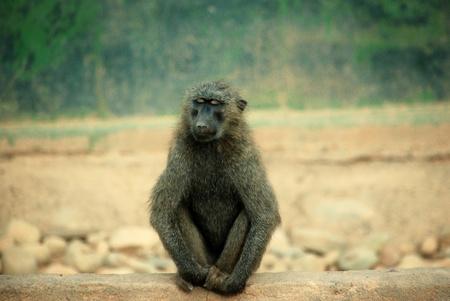 leisurely: Baboon Stock Photo