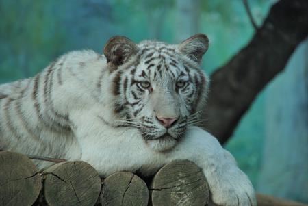 albino: Young albino tiger Stock Photo
