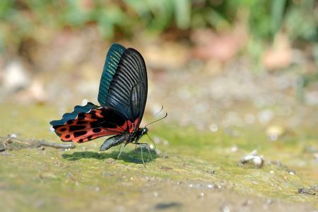 absorcion: Butterfly Papilio taiwanus natural water absorption