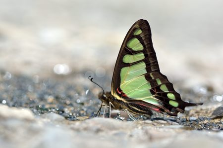 suction: Taiwan endemic butterfly Graphium cloanthus kuge natural soil water suction