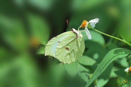 gonepteryx: Taiwan Butterfly Gonepteryx amintha formosana on a flower Stock Photo