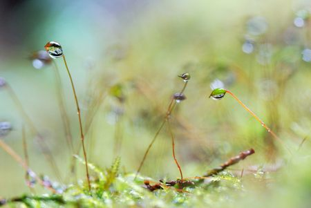 locked in: Polytrichum commune locked in a spring forest, in rainy day Stock Photo
