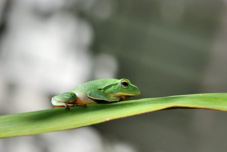 arboreal frog: Green Treefrog Stock Photo