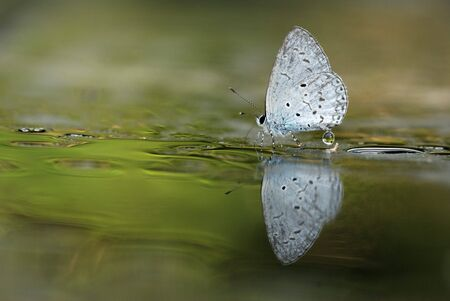 stopped: Taiwan butterfly Celastrina lavendularis himilcon stopped at the wet ground water Stock Photo
