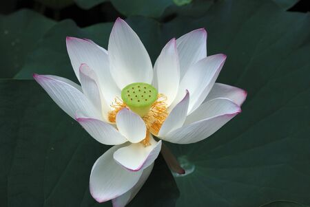 effloresce: The Lotus flower and leaf