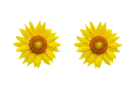 biologically: Yellow sunflower isolated on white