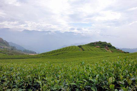 ali: Spring, A-Li Mountain Oolong Tea garden, in Taiwan Stock Photo