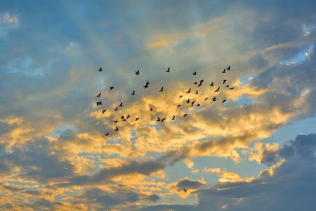 bandada de p�jaros: Swarm of Doves flying on sunset. Bright color.