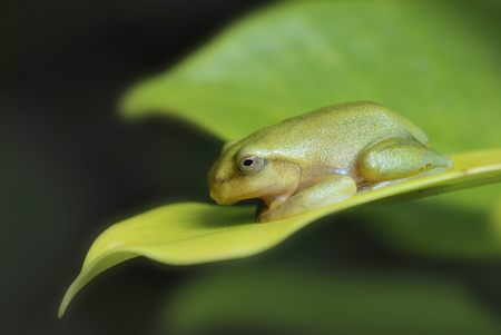 arboreal frog: Young tree frog