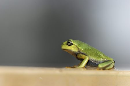 treefrog: Green Treefrog Rhacophorus moltrechti is Taiwans endemic species Stock Photo