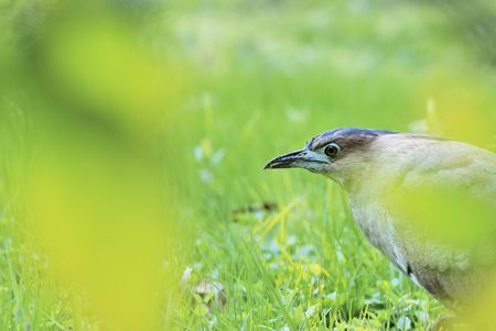egrets: Black crown heron bird scientific name: Gorsachius melanolophus