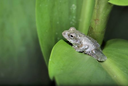 arboreal frog: Temple tree frog Stock Photo
