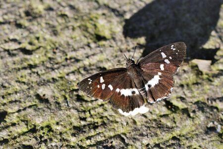 tethys: Butterfly Daimio tethys niitakana Isolated on White.